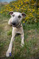 Pet Portrait Photography Sample of a Whippet by Eloise Leyden