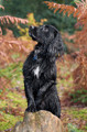 Pet Portrait Photography Sample of a Working Cocker by Eloise Leyden