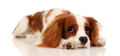 Cavalier King Charles Spaniel Photograph by Chris Pethick Pet Portrait Photographer