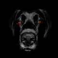 Black Labrador Photograph by Chris Pethick Pet Portrait Photographer