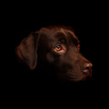 A Chocolate Labrador Photograph by Chris Pethick Pet Portrait Photographer
