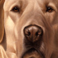 Larger Than Life  Yellow Lab I by Nigel Hemming