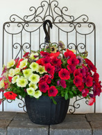 Hanging basket of mixed annuals