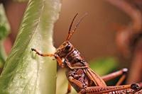 grasshopperfree.jpg