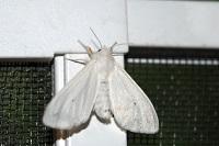 whiteflyfree.jpg