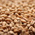 Weyermann Oak Smoked Wheat Malt (German), 1 pound