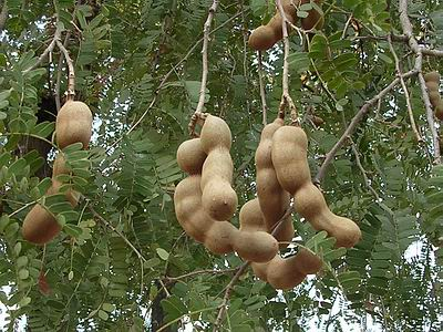 tamarind-tree-fruits-6.jpg
