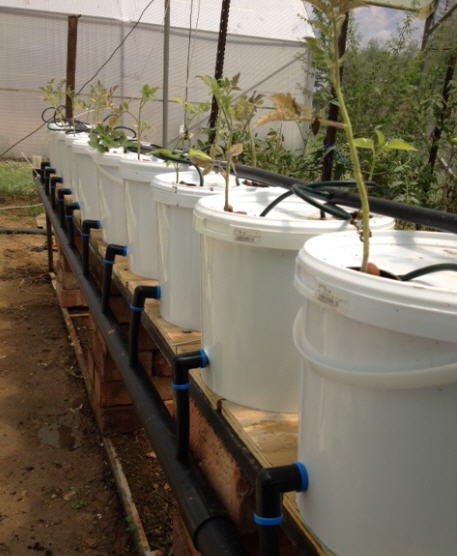 How to build a dutch bucket plant grow area for your for Aquaponics fish for sale