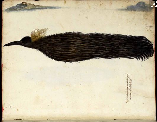 Ulisse Aldrovandi - l'Ornithologia - late 16th c. - Bird of Paradise depicted as having no feet. . forever in flight and living from drinking the sun's nectar.
