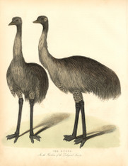I suspect these emus would have appeared a little misplaced in London, but no more than the other interns in the London Zoo. The Zoological Society of London was opened in April 1828 for thepurposes of  Scientific study in Regents Park by, among others, Sir Stamford Raffles.