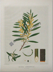 "South Australian Flora, Acacia longifolia, antique chromolithograph after Rosa Fiveash, printed in Adelaide by the Government Printer for John Edne Brown's ""Forest Flora of South Australia""."