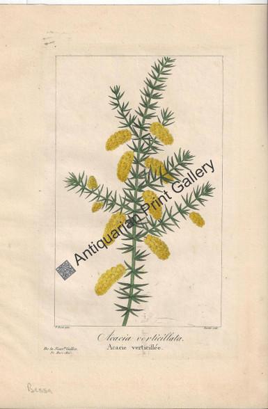 Australian Acacia verticillata 1836 Original Antique Print