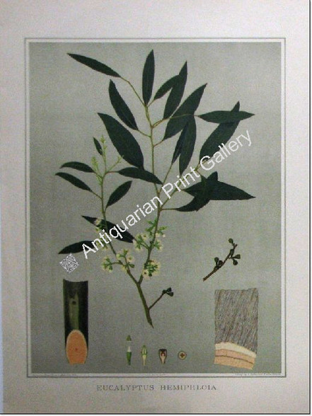 "South Australian Flora, Eucalypt Hemiphloia, antique chromolithograph, Fiveash & Barrett, printed in Adelaide by the Government Printer for John Edne Brown's ""Forest Flora of South Australia""."