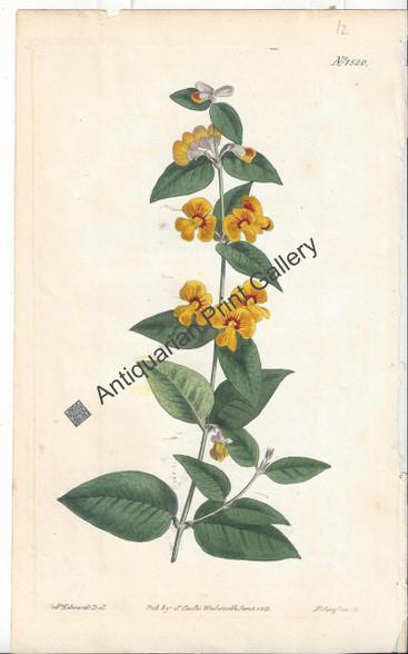 Australian Platylobium parviflorum 1813 Original Antique Print