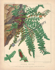 Ferns Asplenium British 1885 Original Antique Print