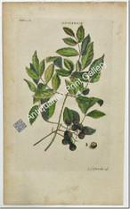 Trees Ehret azaderach Original Antique Print