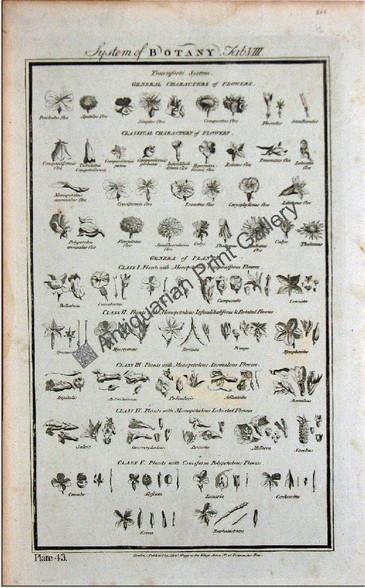 Botany flowers 1788 hogg 8 Original Antique Print