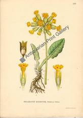 Botany Flowers Primula veris 1900 Lindman Original Antique Print