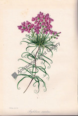 Botany Flowers Stylidium sandens Lithograph 1848 Holden Original Antique Print