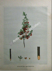 Botany Australian Dodonaea microzyga SA 1882 chromolithograph Original Antique Print