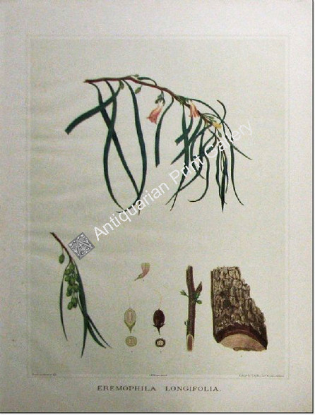 Botany Australian Eremophila longifolia SA 1882 chromolithograph Original Antique Print
