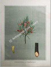 Botany Australian Eremophila oppositfolia SA 1882 chromolithograph Original Antique Print