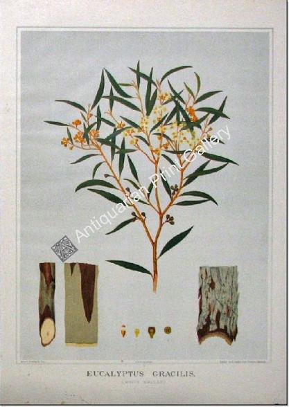 Botany Australian Eucalyptus gracilis SA 1882 chromolithograph Original Antique Print