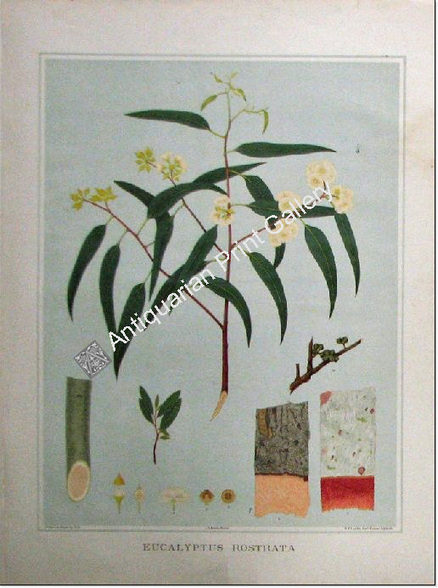 Botany Australian Eucalyptus rostrata SA 1882 chromolithograph Original Antique Print