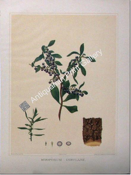 Botany Australian Myoporum insulare SA 1882 chromolithograph Original Antique Print
