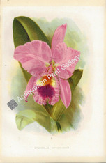Botany Orchid Cattleya 1875 Antique Print