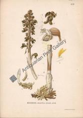 Orchid Negottia Nigus Avis Australian 1900 Lindman Antique Print