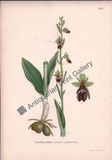 Orchid Ophrys Muscefeia Australian 1900 Lindman Antique Print