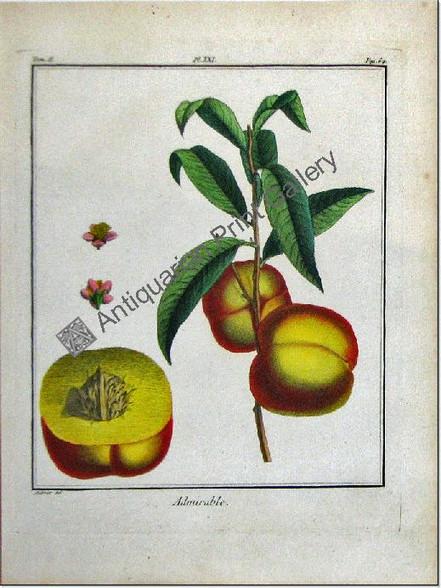 Botany Fruit/Herbs Admiral Peach duhamel 1768 Antique Print