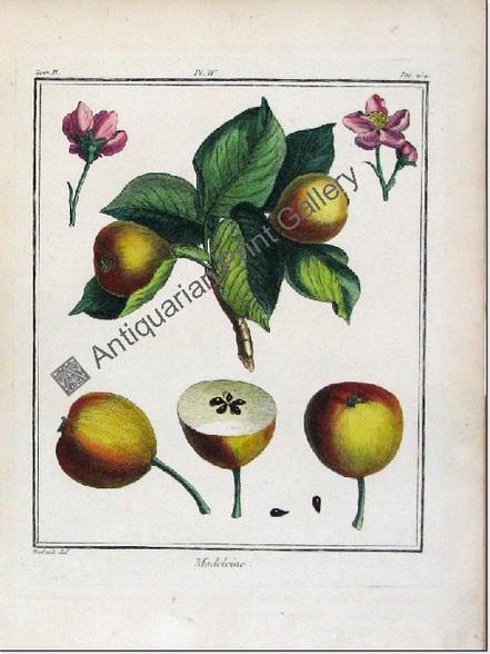 Botany Fruit/Herbs Madeleine Pear duhamel 1768 Antique Print