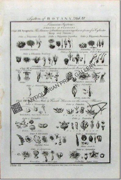Botany Flowers  Linnaeus 1788 Alexander Hogg Antique Print