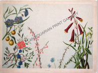 """Australian Wild Flowers"" after Alexander Sutherland Murray Antique Chromolithograph featuring Epacris, Red Correa, purple convolvulus, Australian Heaths Lilac tetratheca. Published London 1898"
