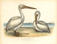 'The Pelicans, In the Gardens of the Zoological Society'' Archival limited Edition of original copper engraving after William Berthoud originally published, c.1830 by Thomas Kelly, London.