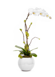 Miami Sphere Large White - Single Phalaenopsis Orchid