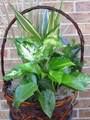 "Fresh 10""Dish Garden Plant Basket"