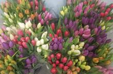 Premium Tulips