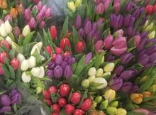 10 Premium Tulips