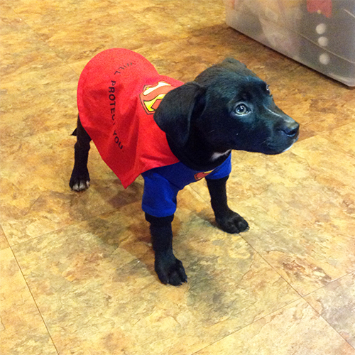 2013-oct-2-beowoof-larry-as-superdog-500x500-px.jpg