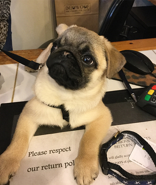 2017-feb-27-greta-15-wk-old-pug-beowoof-lounging-on-desk-i-505x600.jpg