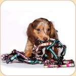 XS Ribbon Collar, Harness & Leash--Assorted Patterns