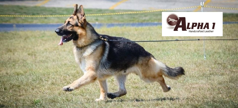 German Shepherd Show Leashes