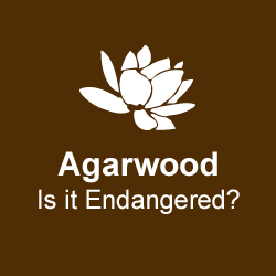 agarwood-is-it-endangered.jpg
