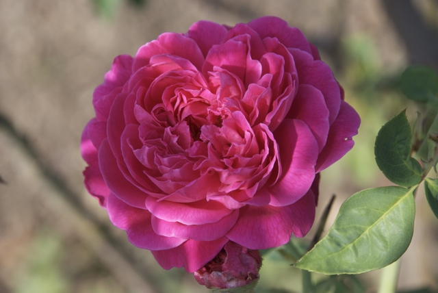 pink-tamil-rose.jpg