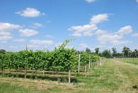 Terhune Orchards Vineyard
