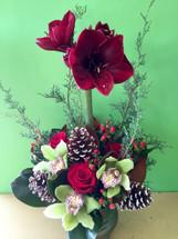 Amaryllis Christmas