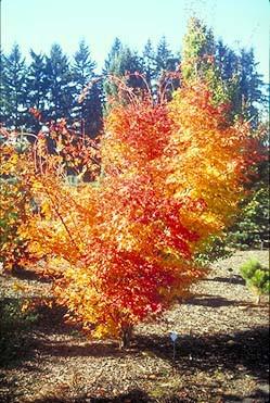 Acer palmatum ' Beni kawa ' Coral Bark Japanese Maple Tree